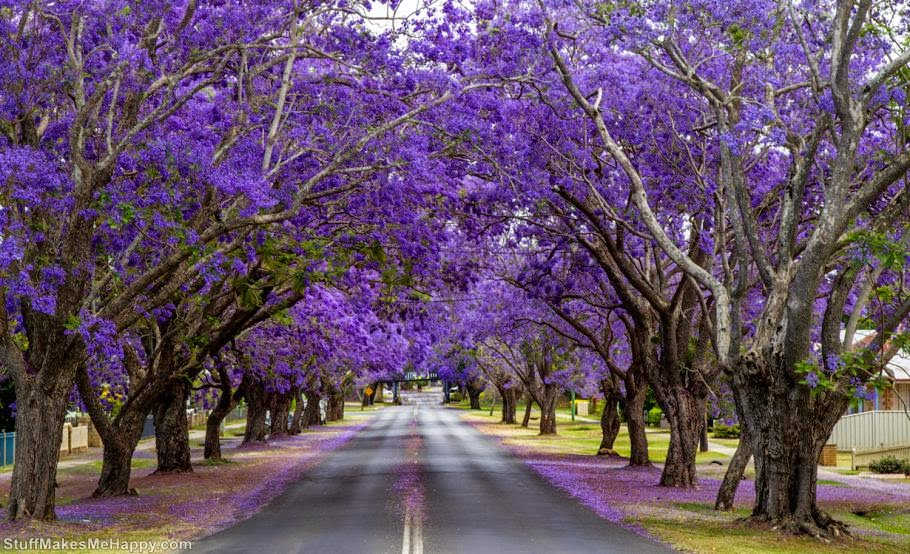 Jacaranda tree Tunnel in South Africa
