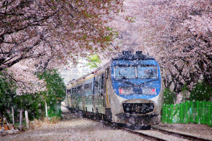 Sakura Cherry Rail Tunnel in Japan