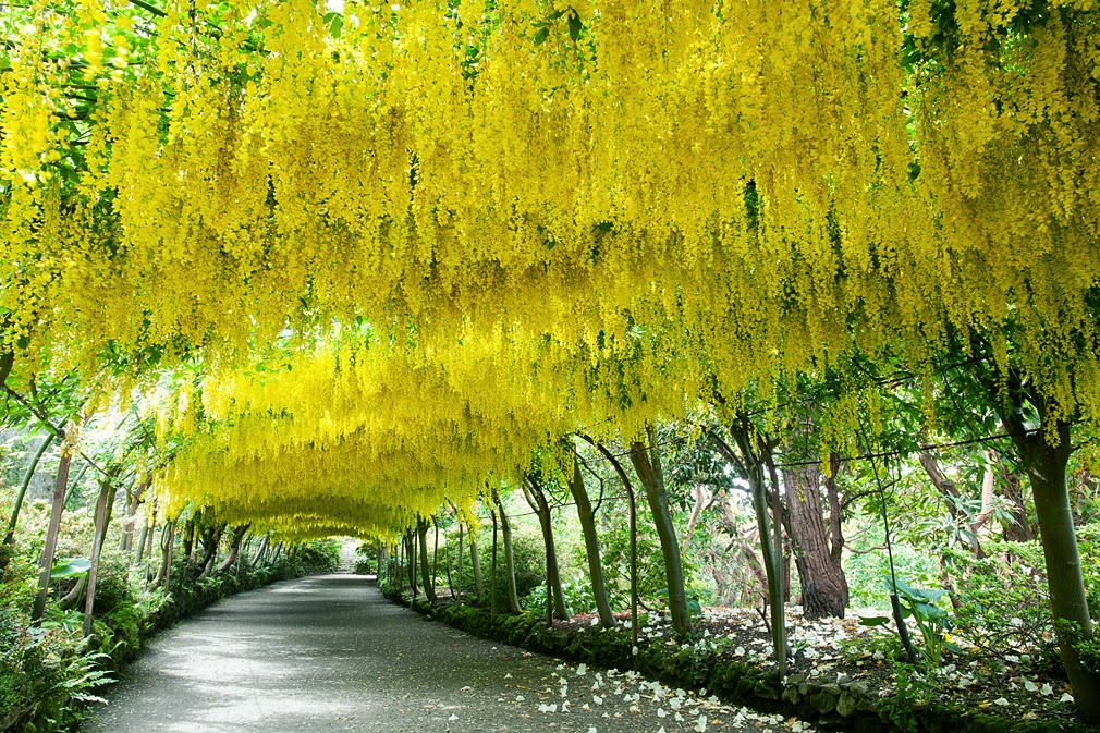 Laburnum tunnel, Bodnet garden in UK