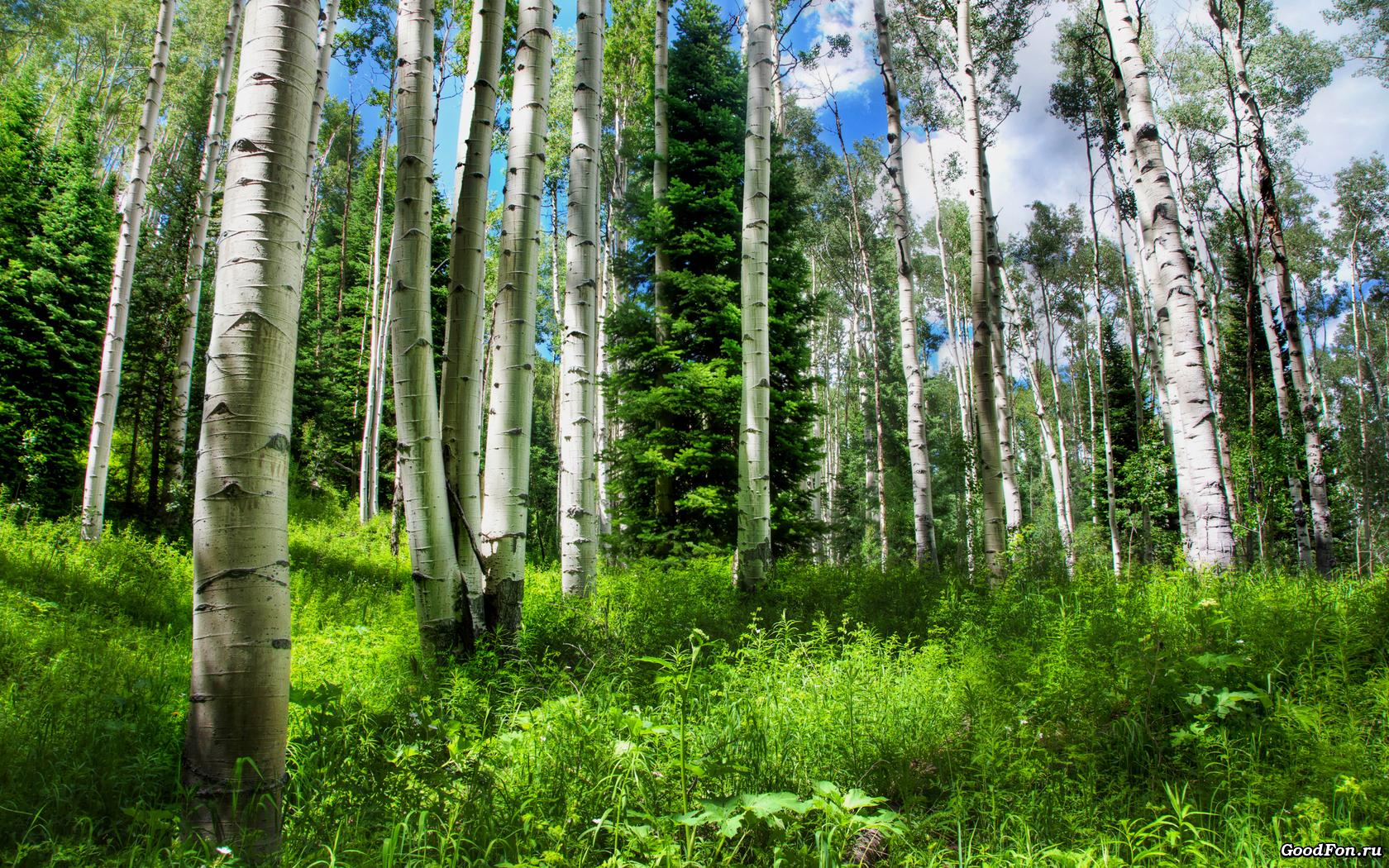 Russian-birches